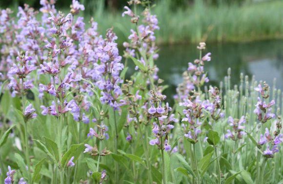 Wiese am Teich mit Salbeiblüten